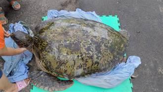 128公斤綠蠵龜擱淺 解剖誤食17公分釣具造成結腸穿孔壞死