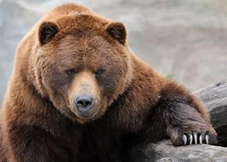 旅遊遇巨大棕熊眾人全嚇壞 做對1舉動驚險逃死劫
