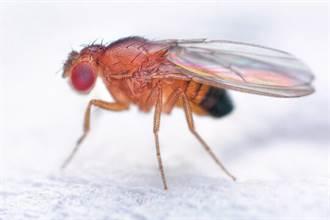 果蠅對於食物有鑑別力!他們會刻意避免苦味以及有毒的食物