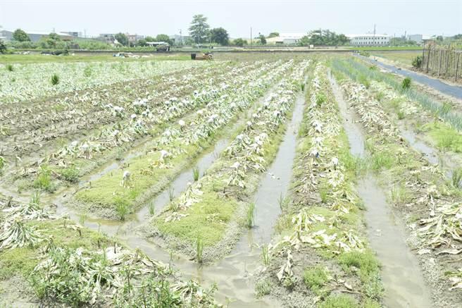 彰化縣是全台最大的白花椰菜產區,連日豪大雨讓許多來不及採收的花椰菜在田裡泡水腐爛。(謝瓊雲攝)