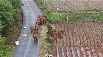 漫遊17個月 守護雲南西雙版納北遷亞洲象回巢