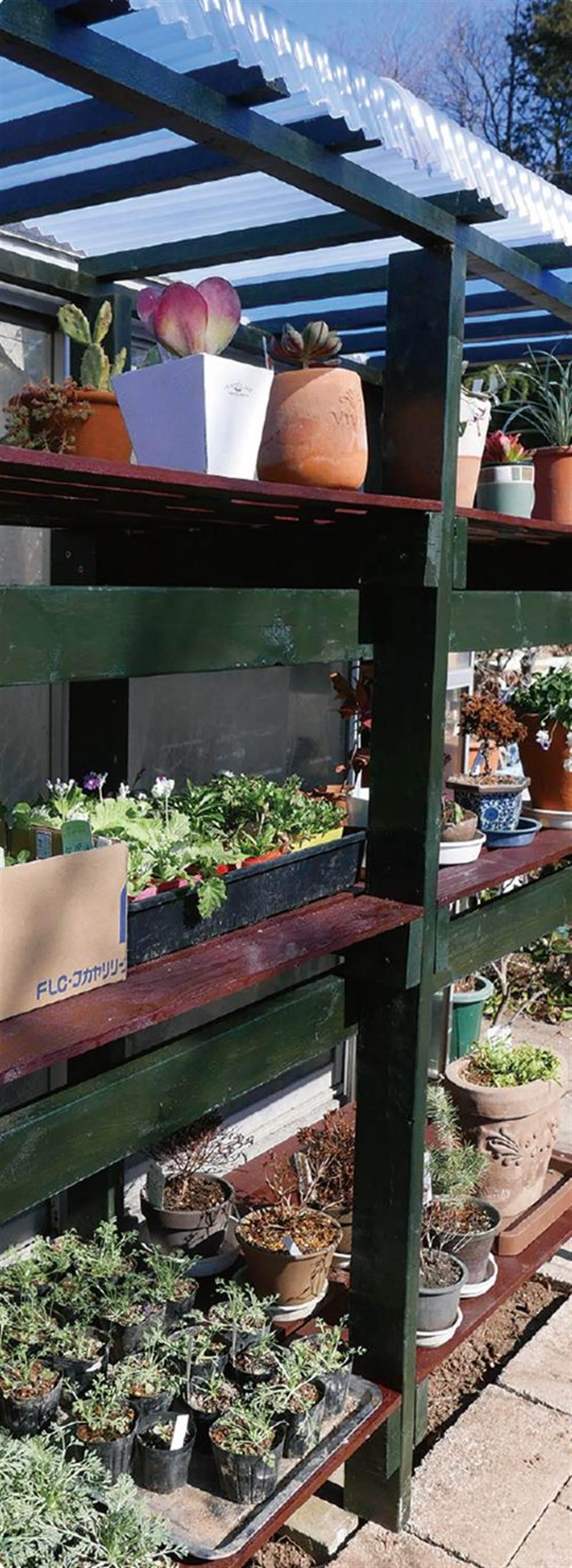 一天內至少要讓植株曬4小時以上的光線。建議放在淋不到雨的屋簷下或陽台上,盆 器要放在架上,不可以直接接觸地面。(圖片提供/蘋果屋)