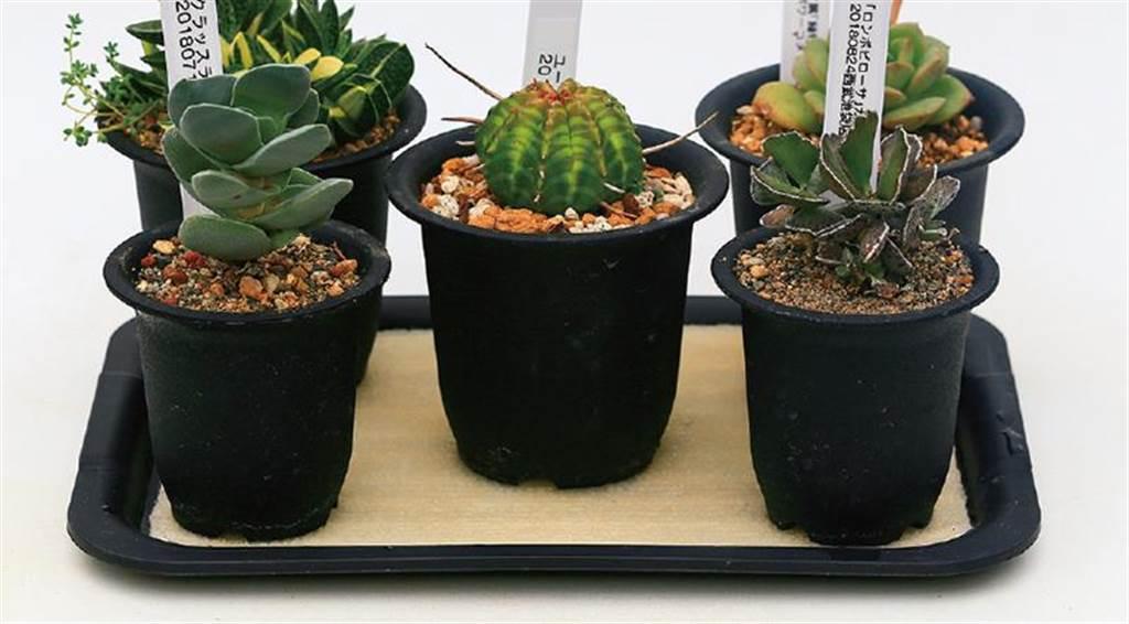 放盆栽的盤子鋪上不織布,是讓盆栽不缺水的小技巧。(圖片提供/蘋果屋)