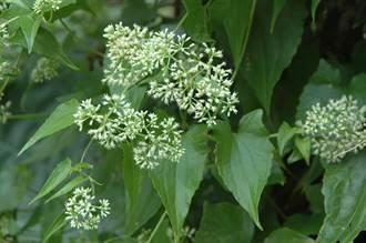 防除「綠癌」要及時 小花蔓澤蘭防治月活動開跑
