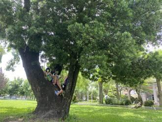 羅漢松依偎百年樟樹 彰化溪州國小師生樹獲選最美校樹