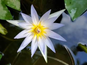 疫外休養生息 花樹銀行藍睡蓮開花還養出超大田蚌