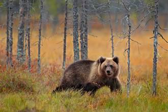 戰鬥民族日常? 俄富翁議員想對熊開槍卻鑄下大錯