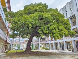 148歲曹公巨樹 獲選最美校樹