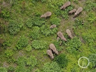 北遷17個月 雲南北移亞洲象群重返傳統棲息地