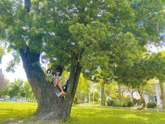 百年樟守護小羅漢松 彰化溪州最美師生樹