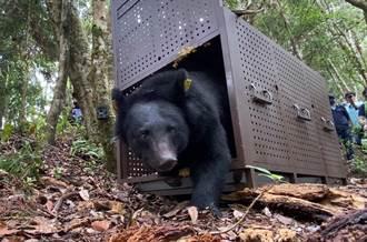 台東落難黑熊經治療 今部落祈福野放重返山林