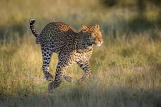 野豹獵捕流浪狗雙雙跌井中 趴同根浮木變共患難兄弟