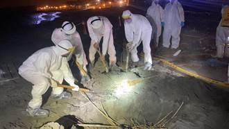 黃金海岸發現海漂豬 動保處就地焚化掩埋