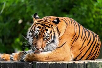 小黃載客遇老虎擋路 凶狠對視司機沒在怕:碰過3次了