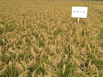 減少施肥成本!全國首批有機栽培選育稻米「桃園6號」新誕生