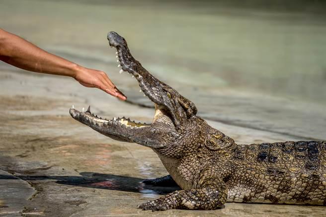 美國女飼育員日前餵鱷魚時慘遭攻擊,男遊客見狀立刻跳進水池內救人。(示意圖/達志影像)