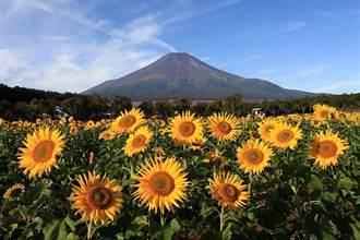 有富士山就是美!山梨縣的向日葵花海秘境
