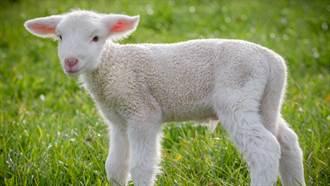小灰羊拿水柱一噴秒變雪白棉花 12秒療癒片萌翻眾人