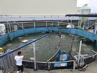 口湖「台灣鯛科技漁民」登場 1人可管理7個示範養殖池