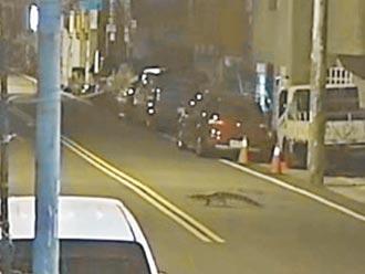 竹縣1.3公尺凱門鱷逃家2天 民眾憂被攻擊