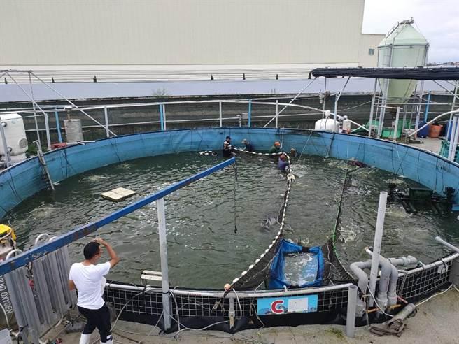 雲林縣口湖鄉「台灣鯛科技漁民」登場,1人可管理7個示範養殖池。(王益豐提供/張朝欣雲林傳真)