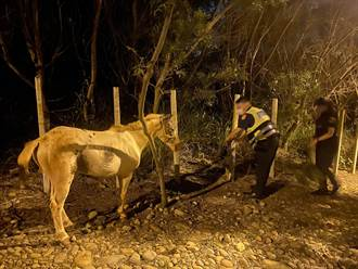 白馬半夜逛大街 警化身馬伕協助照料