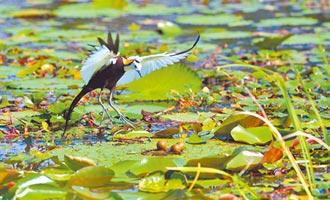 消失40年 水雉重回池上大坡池築巢