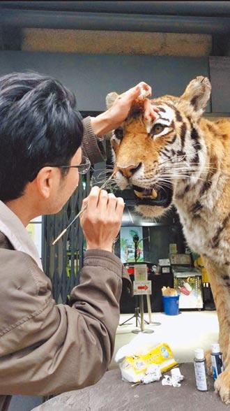 新竹動物園老虎標本 栩栩如生