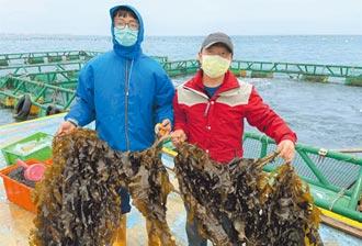 裙帶菜養殖 開創澎湖產業藍海