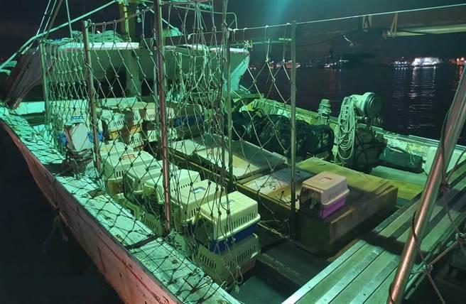 海巡署日前查獲一艘漁船違法走私154隻貓,昨(21)日下午農委會防檢局已依《動物傳染病防治條例》執行人道處理。(海巡署提供)