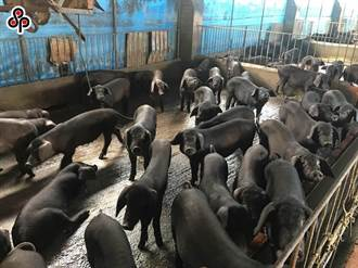 降低非洲豬瘟透過廚餘傳播 環署推養豬廚餘轉型堆肥化及生質能