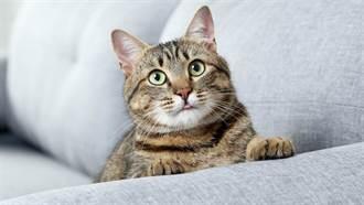 灰貓喝奶狂噴還「傷及無辜」 受害黑貓慘被洗臉眼神死