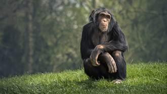 黑猩猩與女遊客太親密 動物園勒令女遊客不准再來