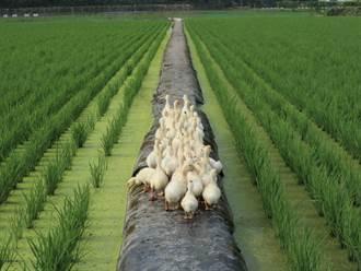 小鴨仔田裡「打工度假」 水稻長得頭好壯壯