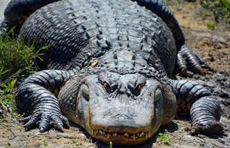 打獵太忘我 一腳踩在鱷魚頭上 他2根腳趾沒了