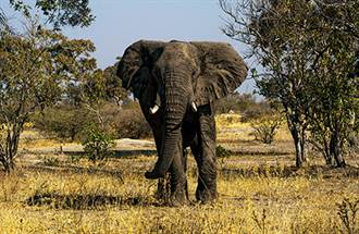 公象愈老愈有異性緣 中老年公象的「發情狂暴期」