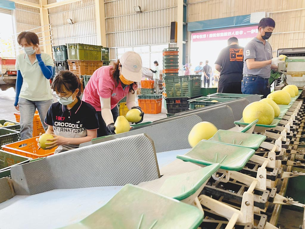 花蓮文旦柚品質佳,加上引進智慧農業科技,讓品質、產量大幅提升。(王志偉攝)