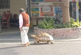 潮州阿嬤遛超巨大烏龜 緩慢散步身影曝光有夠萌