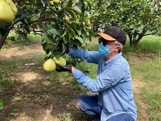 台南文旦大賽9月1日決賽 入選果園全數通過381項農藥檢驗