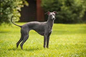 「超級狗狗」6年捐血1萬毫升 救88條狗命後退休