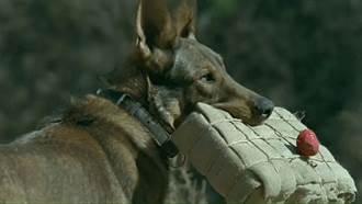 導演為拍戲活活炸死軍犬 笑談飼養員目睹崩潰:這部片必須死條狗