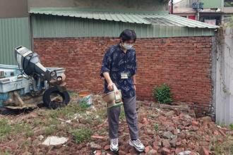 紅火蟻現蹤桃園市區 農業局施灑防治餌劑做緊急處置