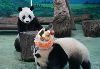 貓熊「團團」、「圓圓」過生日 壽星圓圓玩太兇砸蛋糕?