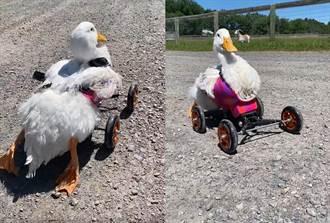 癱瘓鴨子逆境求生 套輪椅蹣跚學走 感動39萬人