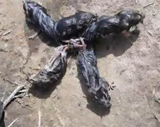 5隻老鼠尾巴交纏打死結 詭異「鼠王」現象連專家也看傻