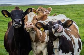 開玩笑向牛問路 牠秒轉頭指出正確路線 37萬人驚呆