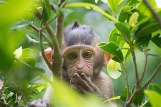猴子撿到口罩學人戴 秒變面罩看嘸路 硬裝沒事網笑翻