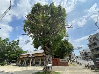 台南新化大目降園區修樹修過頭 菩提樹枝幹形同「斷臂」