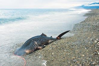 4米豆腐鯊擱淺 魂斷知本溪出海口