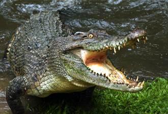 把無人機當獵物 鱷魚躍出水面狠咬 驚險過程網怒了